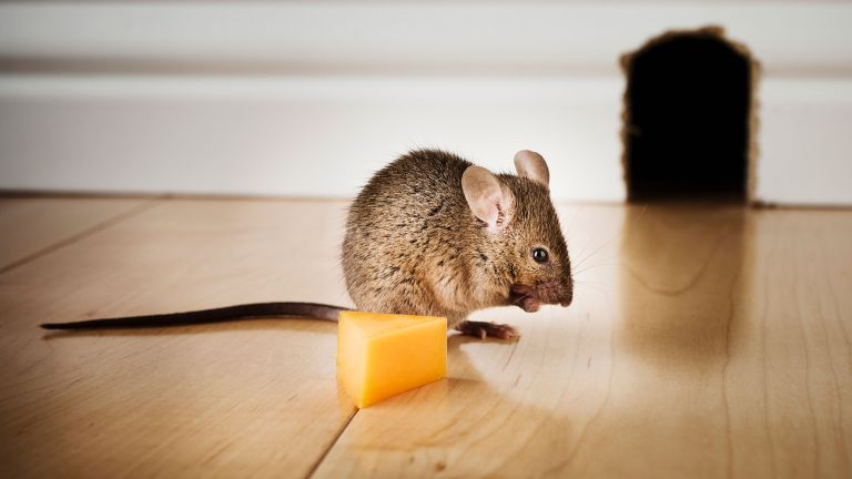 how to get rid of mice - a mouse with cheese in a house - getty