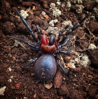 The female funnel-web spider, with blood-red fangs, rears up on a ready-to-strike position.