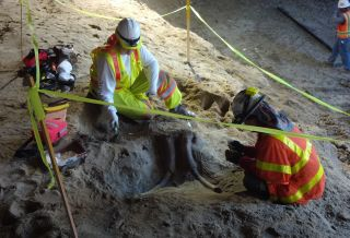 skull of a mammoth or mastodon under LA subway