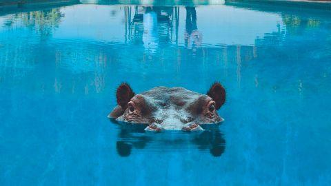 Cover art for Sparks - Hippopotamus album