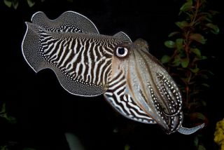 Color-Changing Cuttlefish