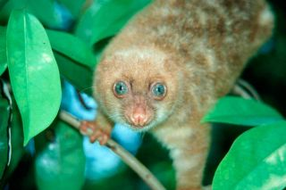 blue-eyed-cuscus-new-guinea