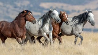 A photo of four wild mustang horses running in Ogden, Utah in the United States.