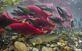 Sockeye salmon and Dolly Varden trout.