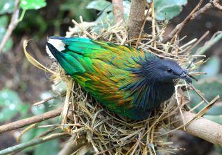 nicobar piegon iridescent coloring