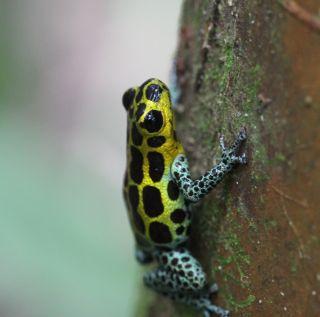 R. imitator, a poison dart frog.