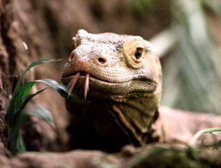 Origin of Komodo Dragon Revealed | Live Science