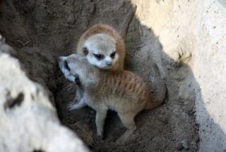 meerkats, cute baby animals