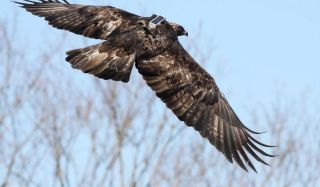 Golden eagle fitted with tracking equipment takes flight