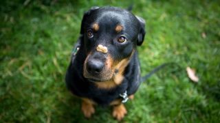 Rottweiler puppy with best puppy treats on his nose