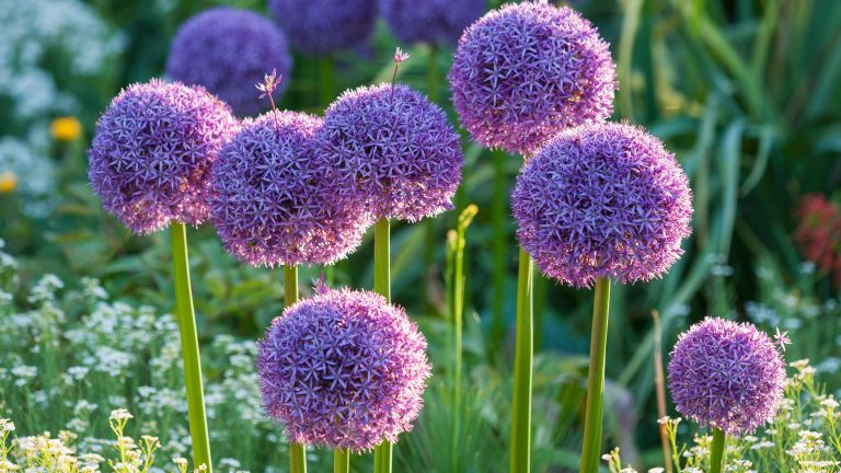 best plants for beginners: alliums