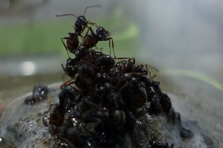 Ants build a raft, safety, flood, protection, queen