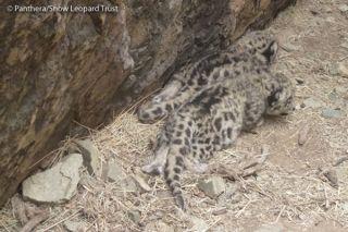 Snow leopard cubs in their den