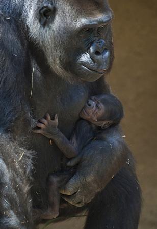 gorilla-baby-110711-02