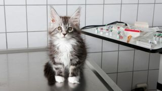 Does pet insurance cover spaying? Portrait of kitten sitting on steel table at vet