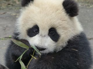Here, a cub eats bamboo shoots at the Bifengxia Chinese Conservation and Research Center for the Giant Panda in Sichuan, China.