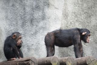 Turns out, chimps remember each other's butts as well as they recognize faces.