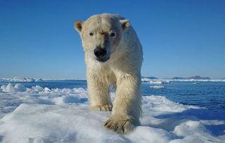 Ice breaker. Polar bear on sea ice in The Arctic.