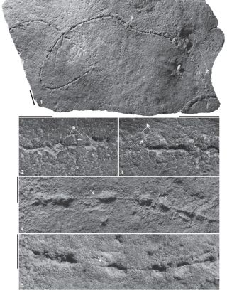 Traces of the tapeworm-like creature <em>Plexus ricei</em> as seen in the fossil record.