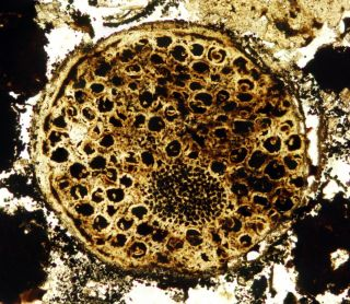 Fossil of a 600 Million-Year-Old Multicellular Organism
