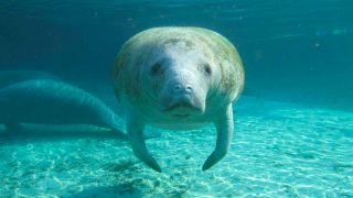 A west Indian manatee (Trichechus manatus).