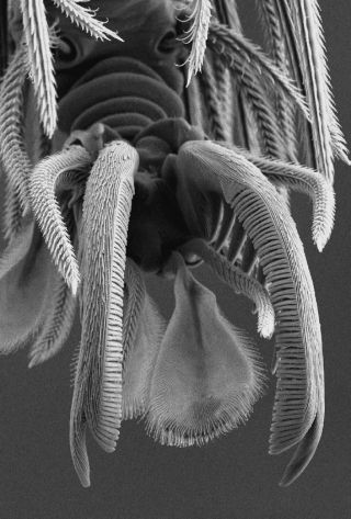 A goblin spider claw as seen under a scanning electron microscope.