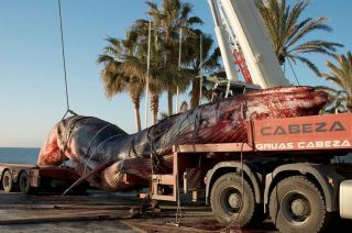 Dead fin whale on the back of a truck