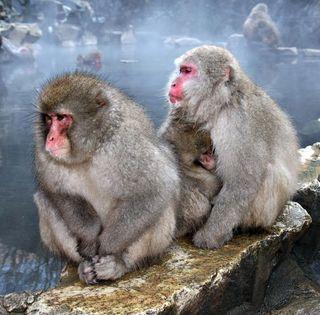 two snow monkeys in japan