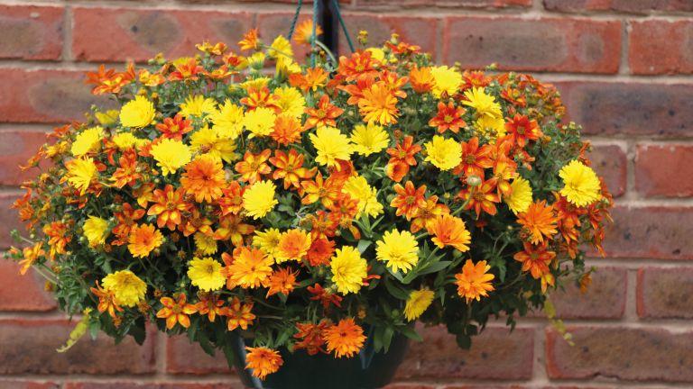 Hanging basket ideas: orange and lemon hanging basket