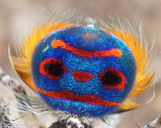 This is the tail flap of the peacock spider Maratus speciosus.