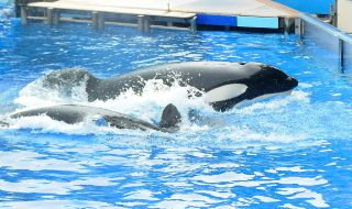 "The killer whale ""Tilikum"" performs in a show at SeaWorld on March 30, 2011, in Orlando, Florida."