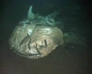 whale shark carcass
