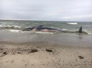 fin whale, finback whale