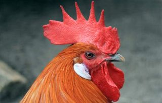 Under the right circumstances, a hen can actually transform herself into a cock.