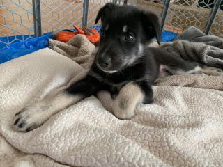Alaska Dog and puppy rescue