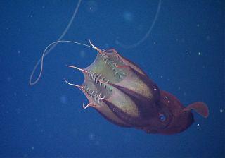 A feeding vampire squid
