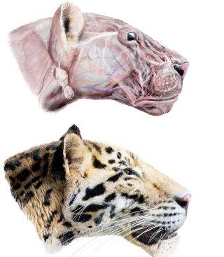 artist's reconstruction of the extinct Longdan tiger