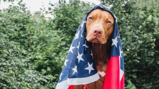 dog safety 4th of July - bull terrier draped in stars and stripes