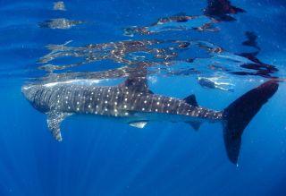 sharks-swim-die