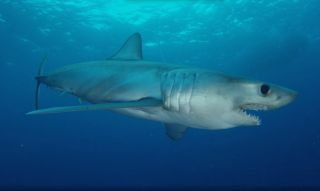 A longfin mako shark that was tagged by U.S.-Cuban scientists in February 2015.
