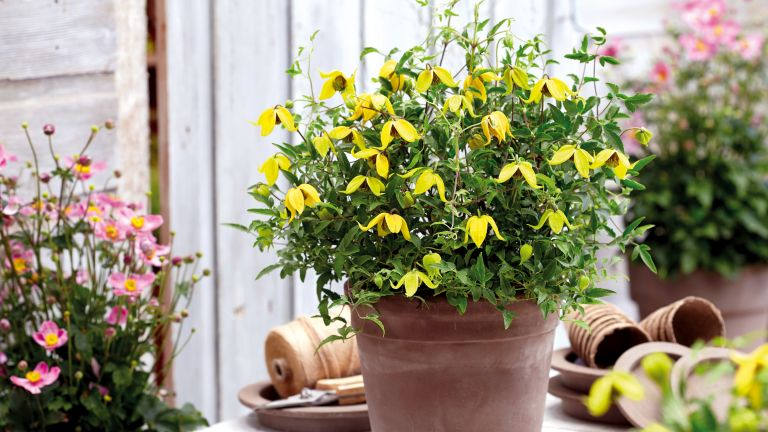 Clematis - Little Lemons from Suttons