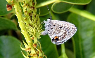 Miami blue butterfly, endangered species news, what butterflies are protected by law, florida butterflies, endangered butterflies