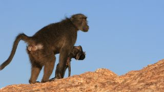 A baboon mother in Namibia carries her dead baby.