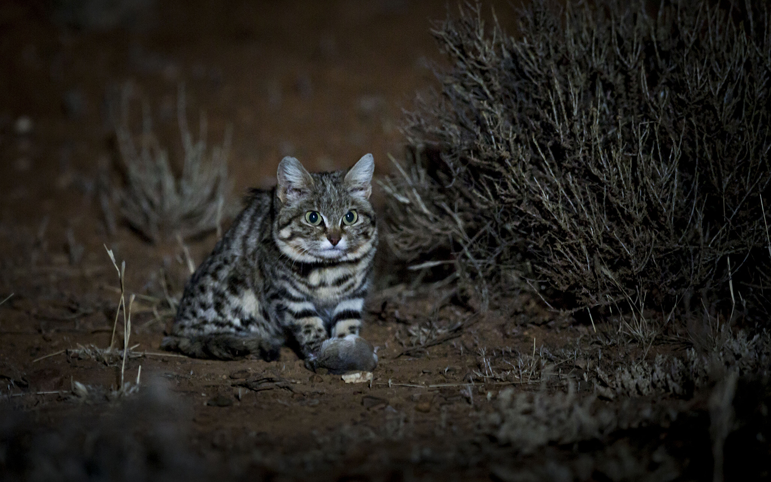Adorable Remorseless Killing Machine Is World S Deadliest Cat Live Science