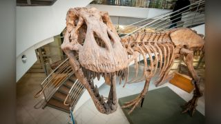 A cast of a T. rex skeleton that was found in the badlands of eastern Montana in 1990. The original is at the Museum of the Rockies in Bozeman, Montana, and the cast is at the University of California Museum of Paleontology at the University of California, Berkeley.