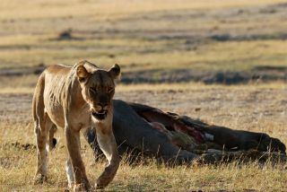 lioness with elephant carcass