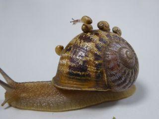 snail babies