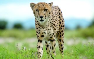 Ever wondered what it's like to hunt like a cheetah, swim like a turtle or have an eagle's eye view of the world?