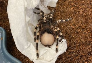 The bald bum of LIl' Kim, an adopted Brazilian whiteknee tarantula
