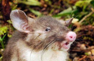 The hog-nosed rat.
